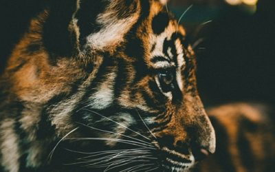 Bevallen met een liefdevolle tijger aan je zij? Bevallen met een doula!